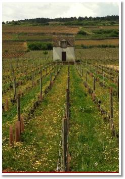 burgandy vineyard